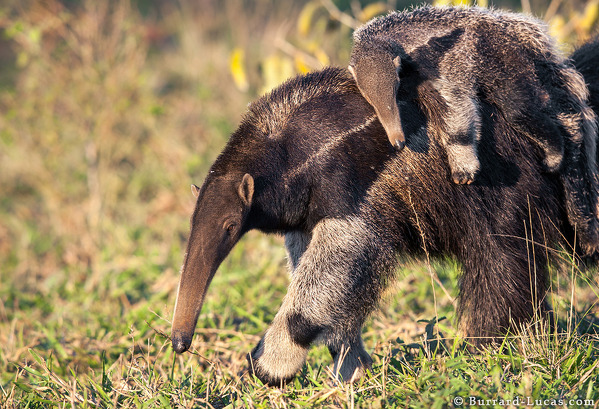 Mother and Baby Anteater