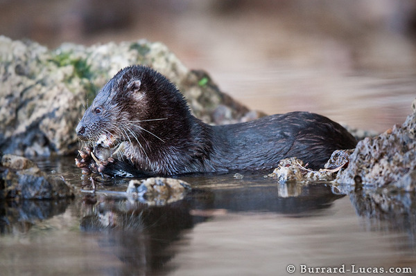 Neotropical Otter