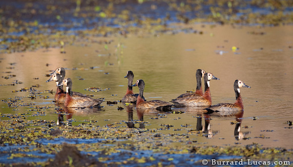White-faced Whistling-ducks