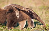Baby Anteater on Mother