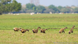 Running Coatis