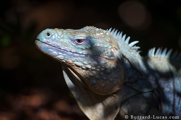 Blue Iguana in Forest