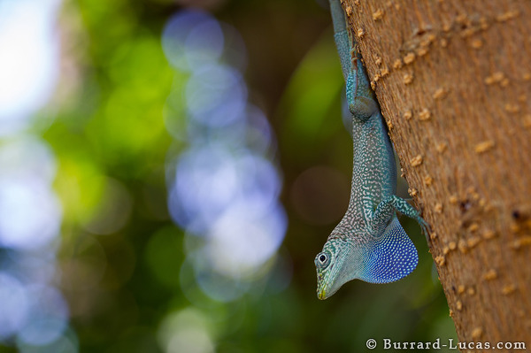 Blue-throated Anole