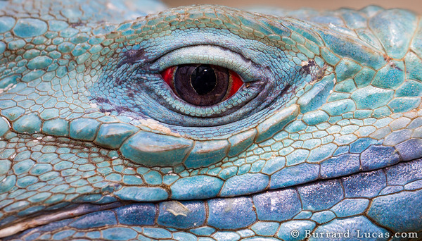 Blue iguanas have amazing red eyes!