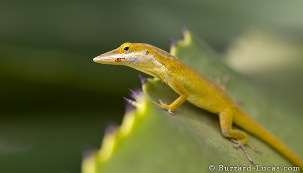 Green Anole, Little Cayman