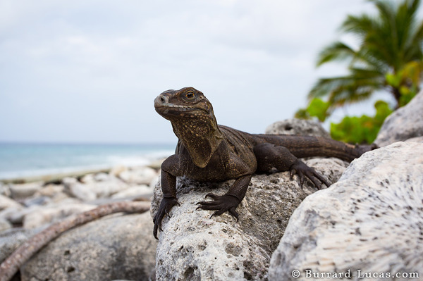 Little Cayman Iguana