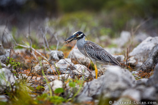 Night Heron Eating Crab