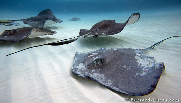 Southern Stingrays, Stingray City