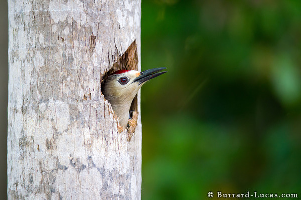 West Indian Woodpecker, Salina Reserve