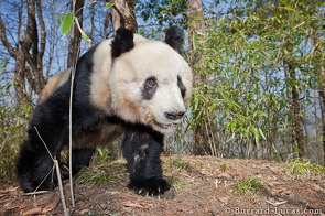 A giant panda approaches the camera.