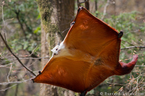 A red and white giant flying squirrel coming in to land!