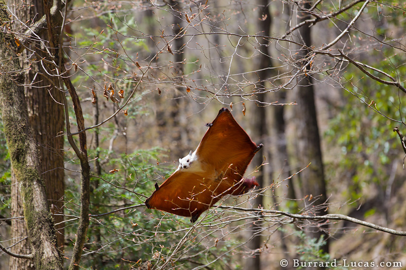 Chinese giant flying squirrel - photo#8