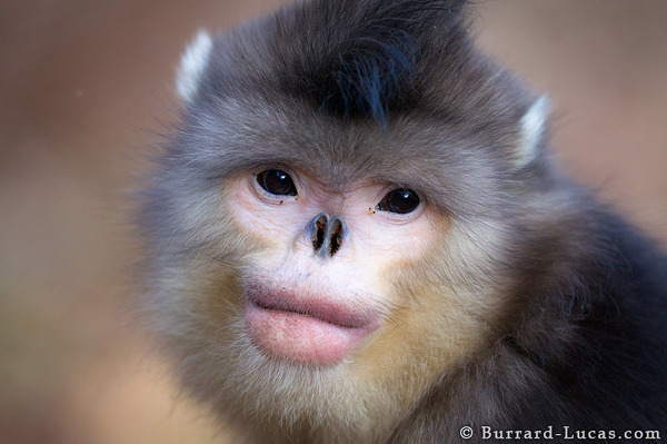 Female Snub-nosed Monkey