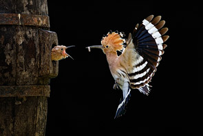 Hoopoe by Giovanni Frescura