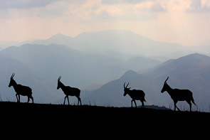 Blesbok Silhouette by Phil Perry