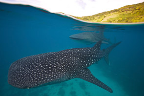 Whale Sharks Passing by Steve De Neef
