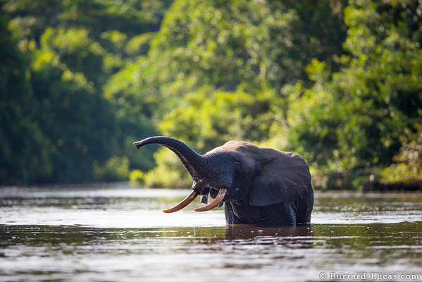 Forest Elephant in River