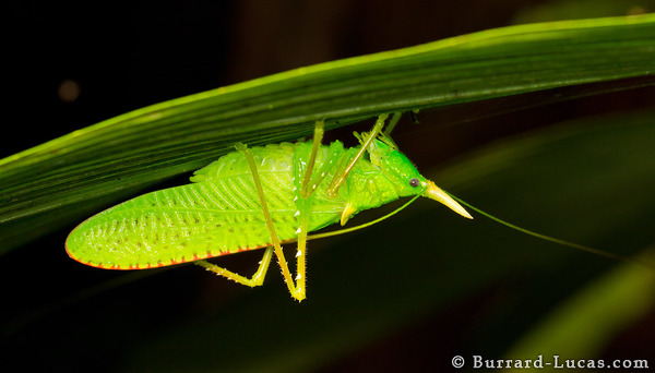 Unicorn Katydid