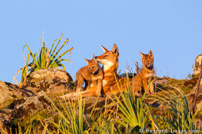 Ethiopian wolves are very affectionate animals.