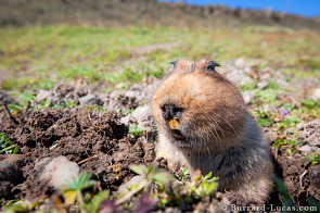 Giant mole rats are the wolves' primary prey.