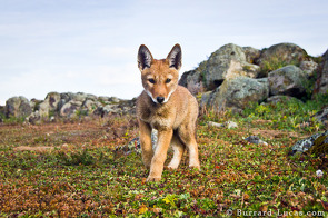 A wolf pup investigates BeetleCam.