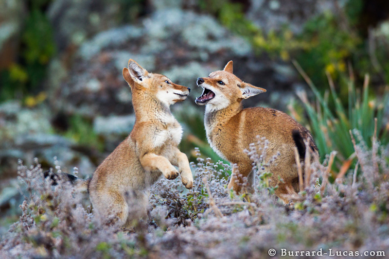 ... wolf mother and pup at the gray wolf pups playing ethiopian wolf pups