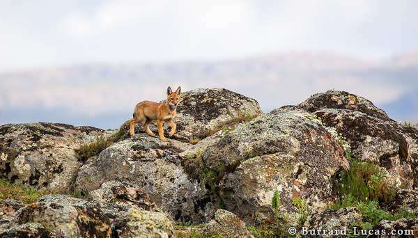 Bale Mountains Wolf Pup