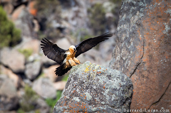 Landing Bearded Vulture