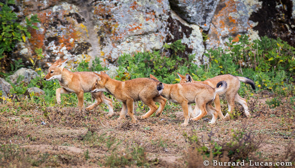 Line of Wolf Pups