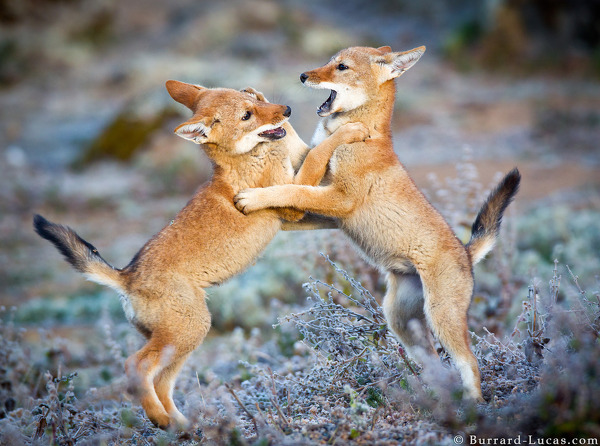 As the wolf pups grow, their games become more boisterous!