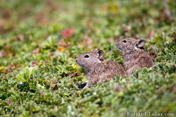 Two Grass Rats