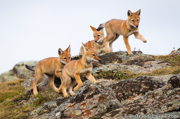 Wolf Cubs Playing