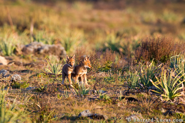Wolf Pup Pair