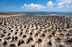 Aerial perspective of an Imperial shag colony.