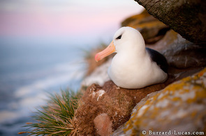 A black-browed albatross sitting on its nest at sunset.