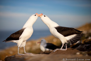 A pair of endangered black-browed albatross courting.
