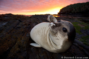 Elephant Seal Pup at Sunset