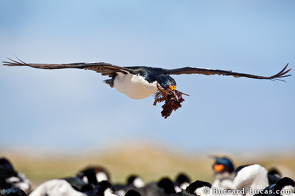 Imperial shag in flight