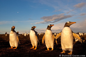 Four gentoo penguins at sunset.