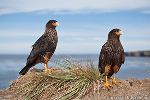 These striated caracaras are known locally as Johnny Rooks. It is estimated that there are only 500 breeding pairs left in the wild.