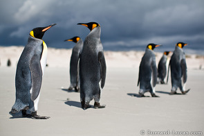 A group of spectacular king penguins on the beach at Volunteer Point.