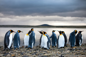 King penguins standing by the water's edge.
