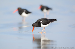 Magellanic oyster catchers looking for food on the beach.