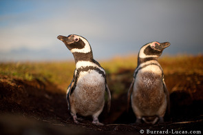 A pair of magellanic penguins outside their burrow.