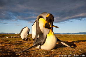 King penguins mating.