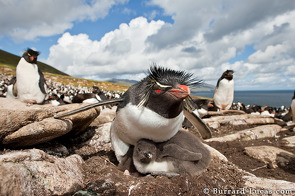 A rockhopper penguin sitting on a large chick!