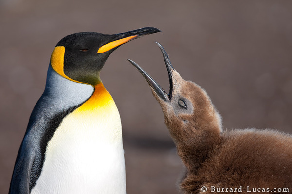 A large king penguin chick begs its parent for food!