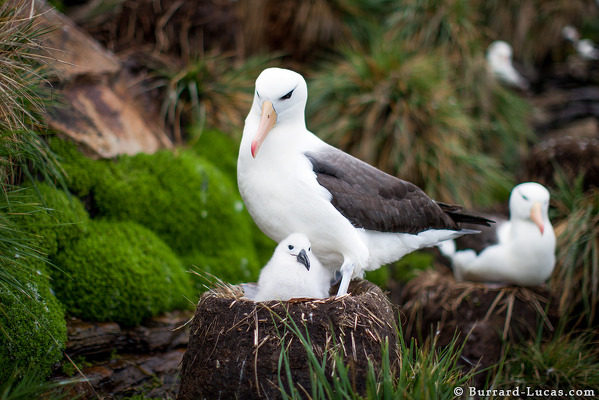 Black Browned Albatross and Chick