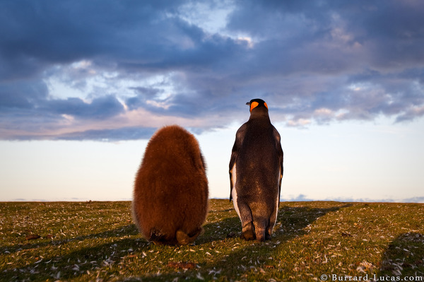 King Chick and Adult