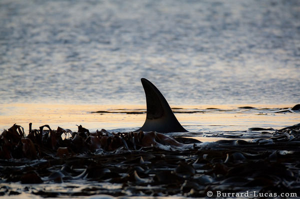 A killer whale hunting for young elephant seals and penguins.